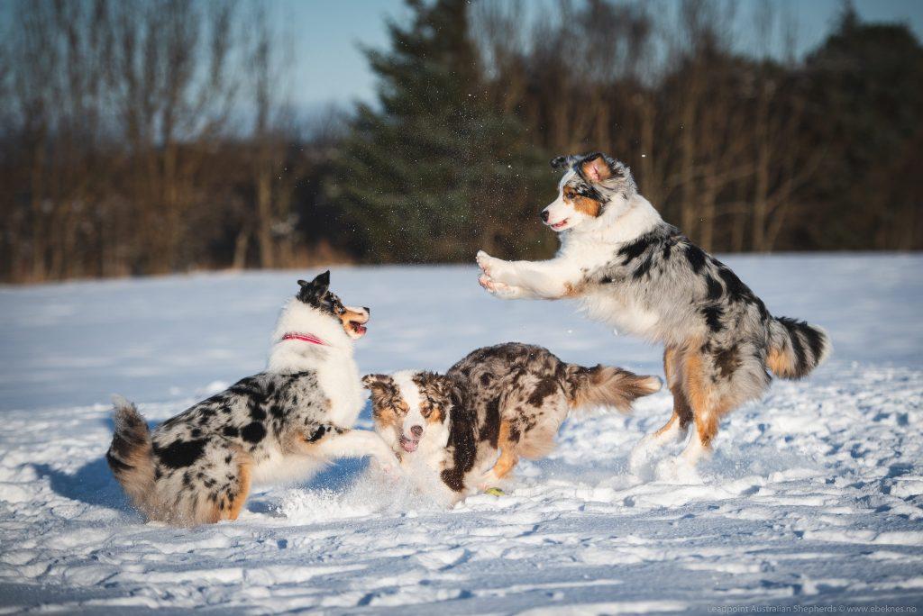 Norsk schæferhund klubb